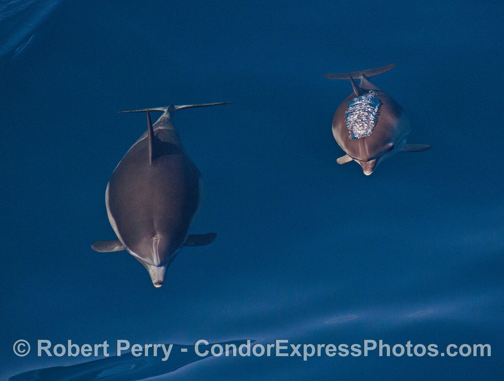 Mother long-beaked common dolphin and her calf:   head on view.