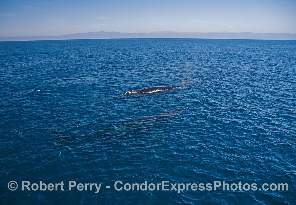 Two humpback whales and the mainland Santa Barbara coast in back.