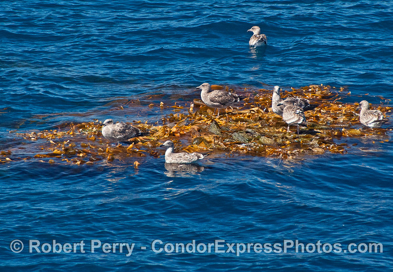 Gulls resting on a detached floating kelp paddy