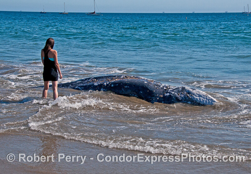 Emaciated year old gray whale probably died of starvation.
