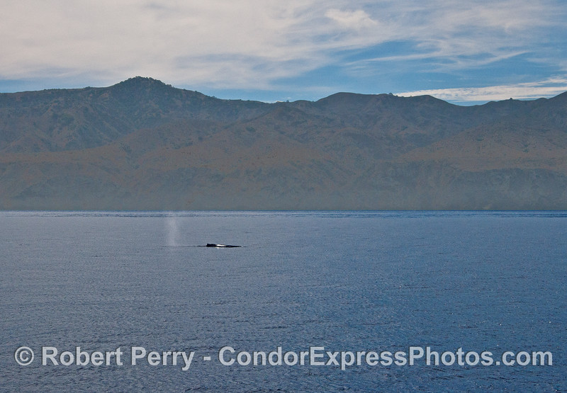 The western end of Santa Cruz Island provides a backdrop for a humpback whale on the surface