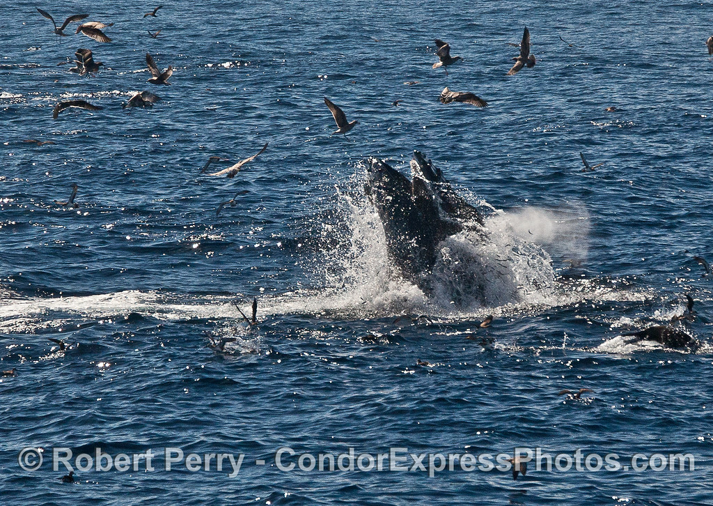Image 2 of 2:  a humpback whale slams its jaws closed around a mass of anchovies.  Fish can be seen jumping to the right of the lunging whale.