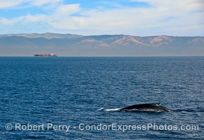 Humpback and container cargo ship in the Santa Barbara Channel...keeping their distance.