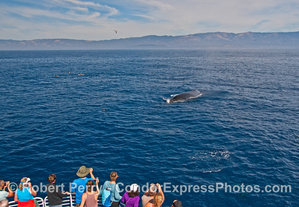 Whale fans get their cameras and iPhones ready as a large adult humpback whale heads for the boat.   In the back, Santa Barbara mainland.