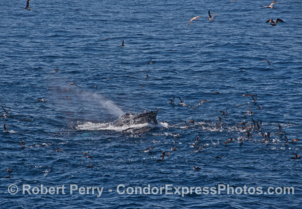 A humpback whale with an entourage of shearwaters and gulls ready to pick up the anchovies that got wounded or temporarily escaped.