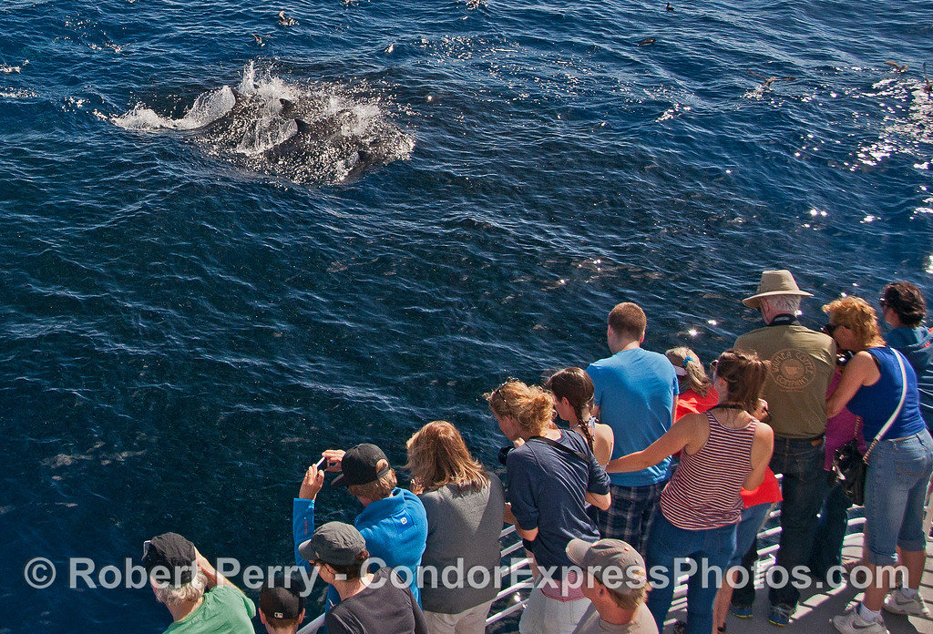 In this photograph the anchovy school has moved over to the boat and under it to escape predators.  A trio of hunting dolphins has just broken the surface as they cooperatively feed.