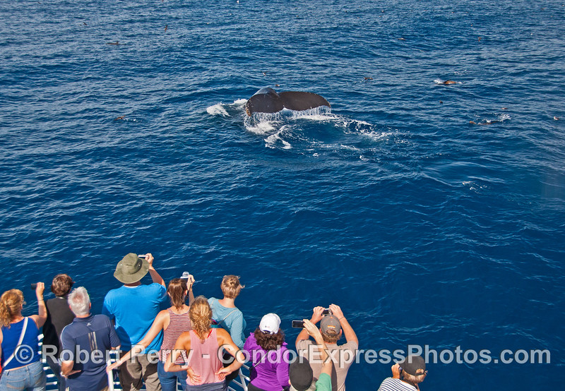 A very close look at a friendly humpback whale that shows its tail flukes to the Condor Express people.