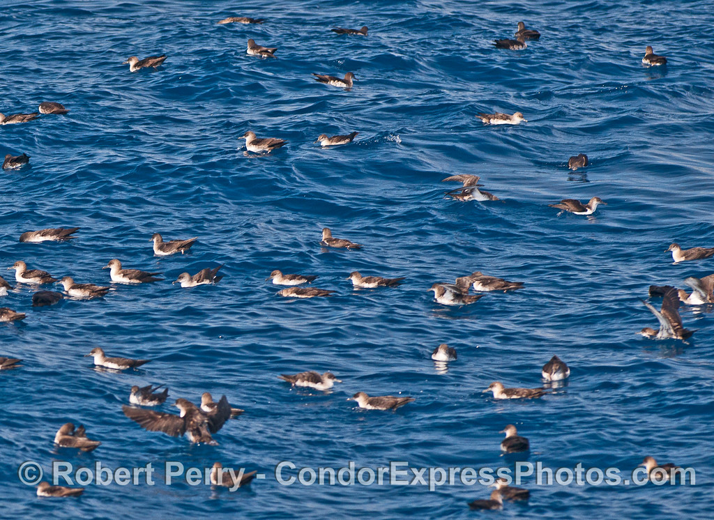 Puffinus opisthomelas flock on water 2015 10-16 SB Channel-a-002