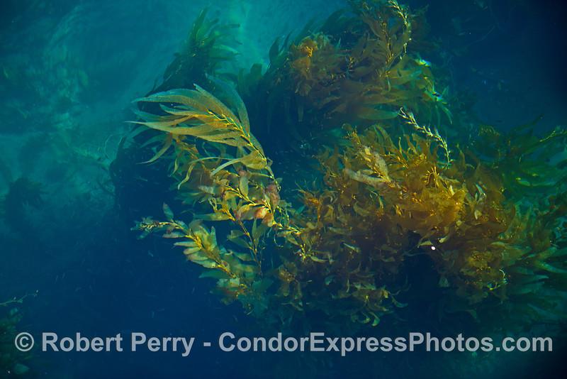 Giant kelp in clear water - Santa Barbara Coast
