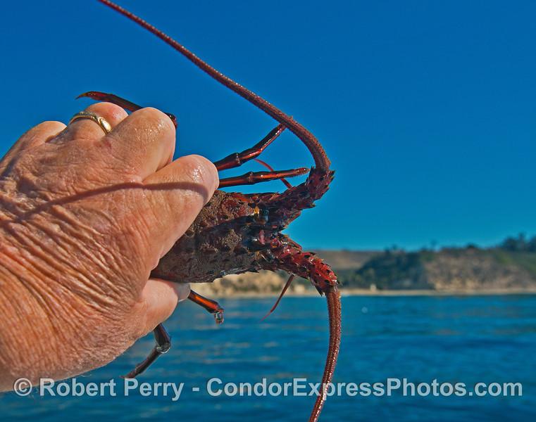 California spiny lobster (juvenile)