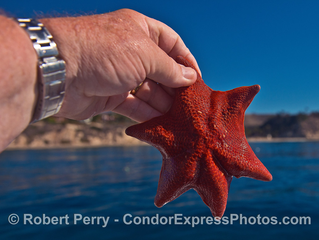 Echinoderms have 5 body regions but here is a bat star with 6.  Aboral view.