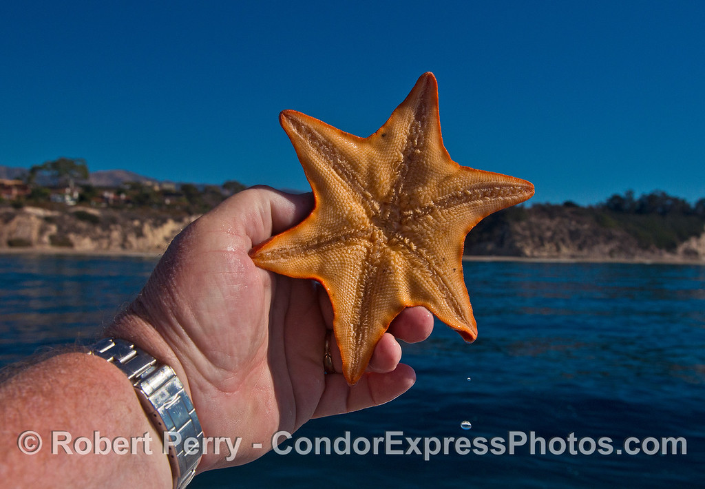 Six-rayed bat star - oral view.