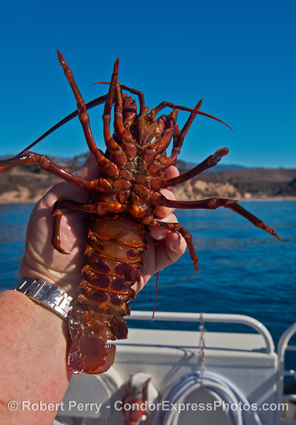 Juvenile male California spiny lobster