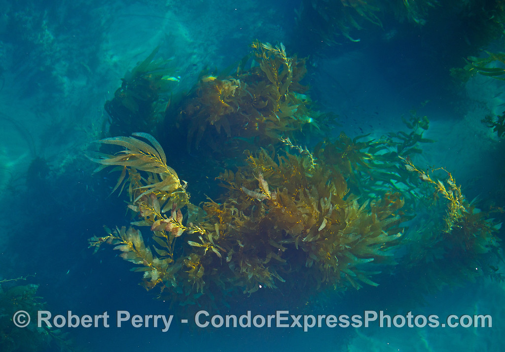 Giant kelp in clear water - Santa Barbara Coast