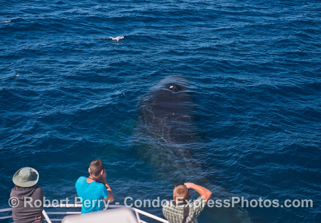 A humpback whale visits its fans on the bow