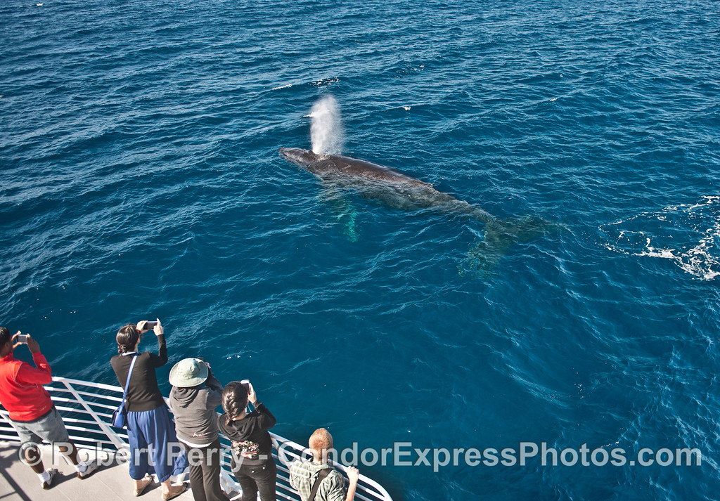 Whale fans get a whole body view of a Humpback whale