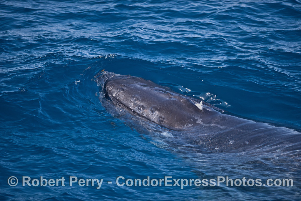 Head of a humpback whale in clear water