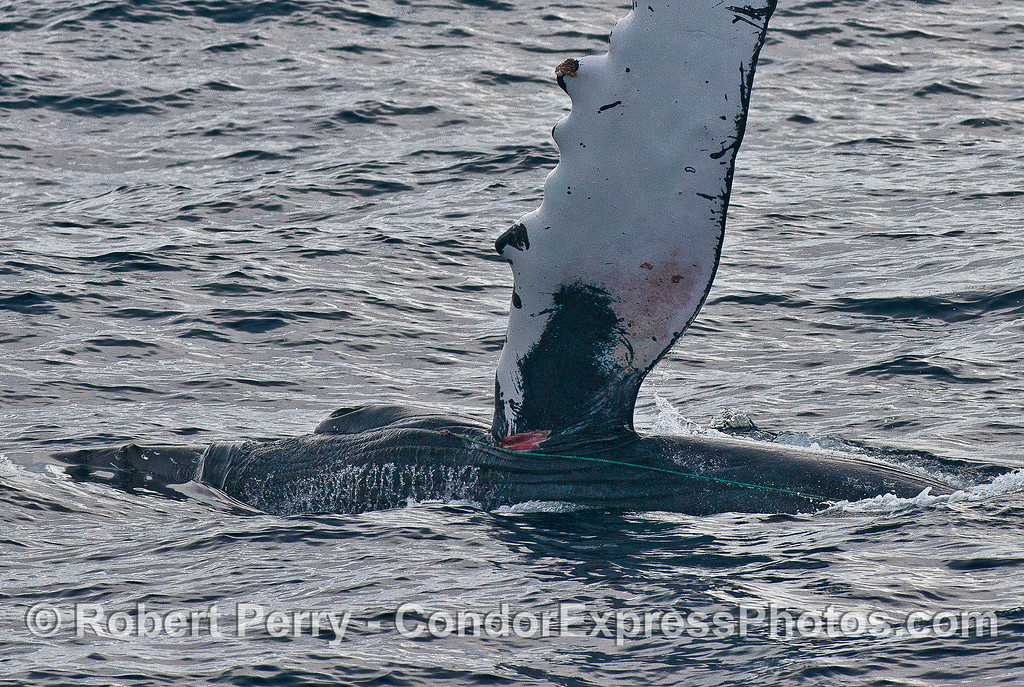 "Left pectoral fin slap showing wound in ""arm pit"" and green poly line trailing back."