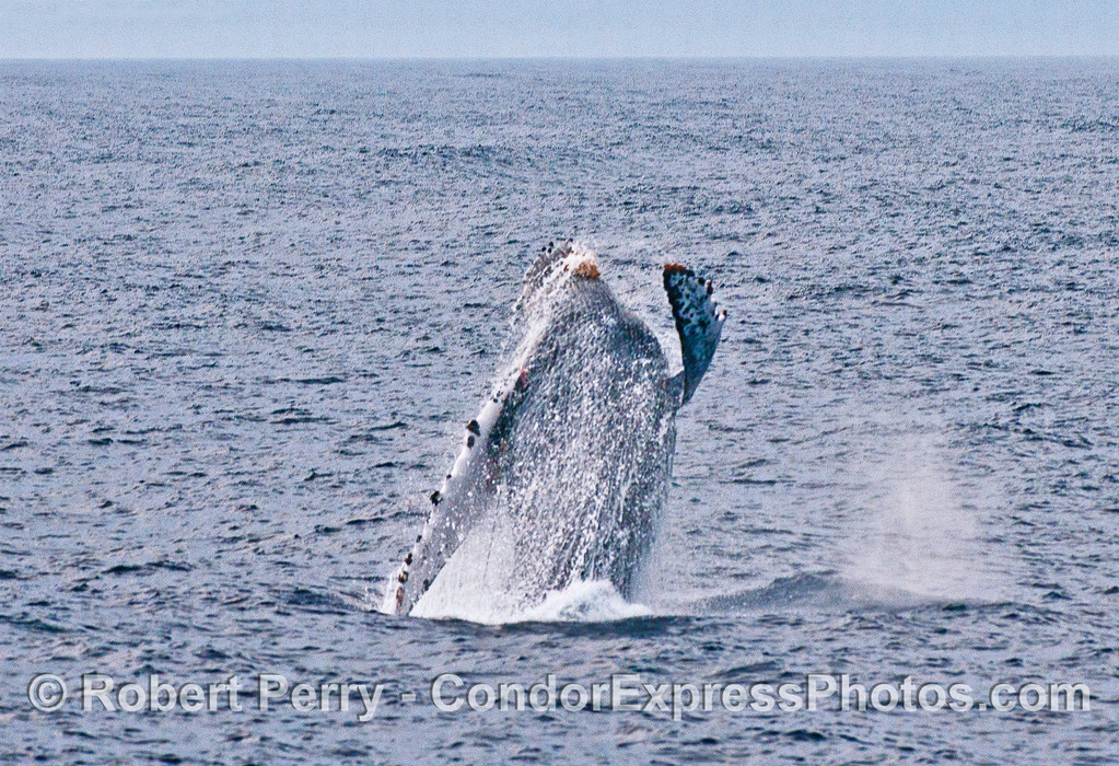 Humpback whale breaching.  Line that entangles this whale is seen on the left side of the photograph.