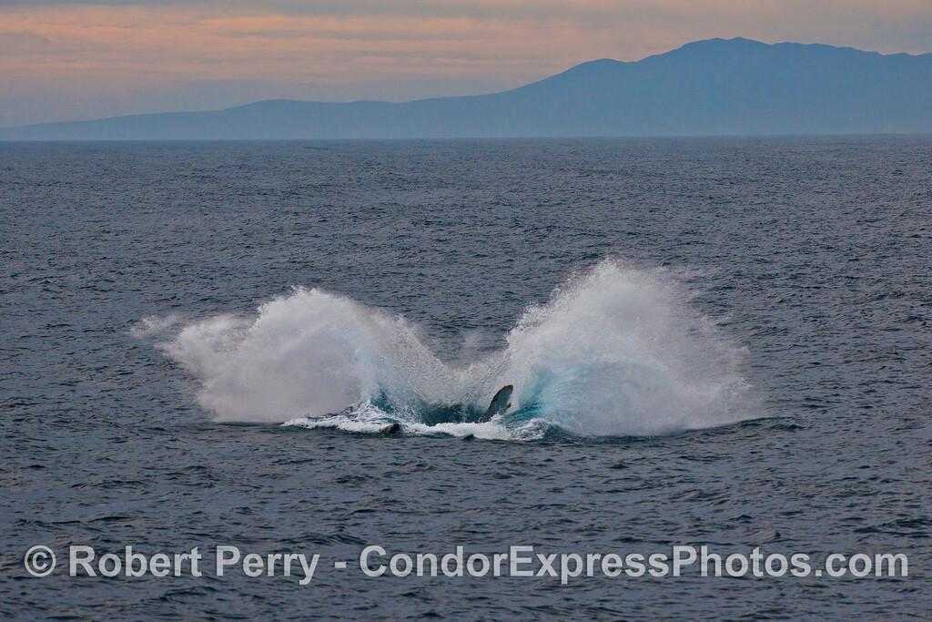 Humpback whale breaching....splashdown !