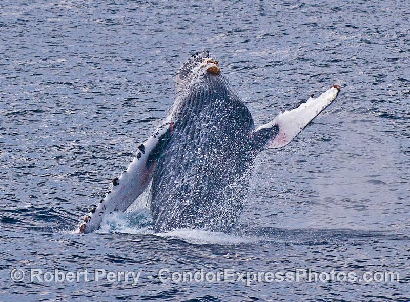 Humpback whale breaching.