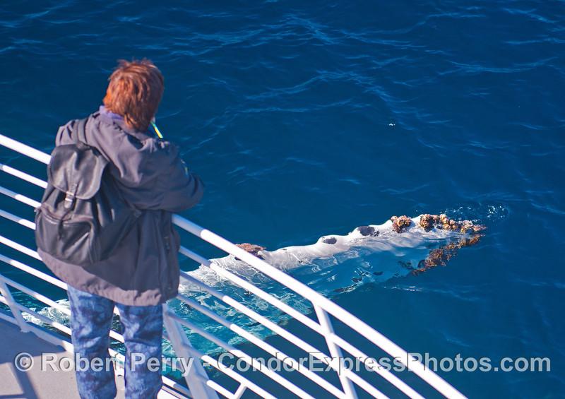 A rolling humpback waves its pectoral fin.