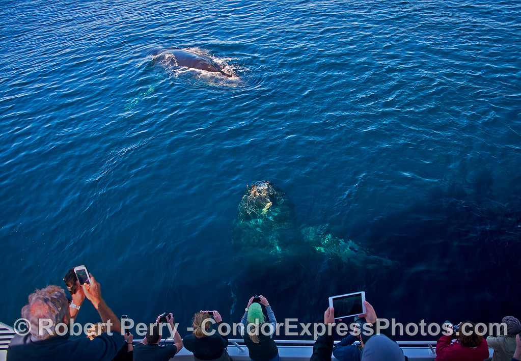 Two friendly humpback whales mug the boat and create special photo opps.