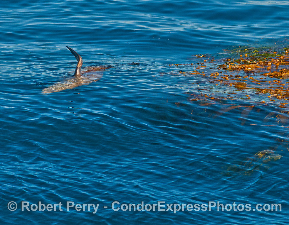 A California sea lion rafts near a paddy of giant kelp.