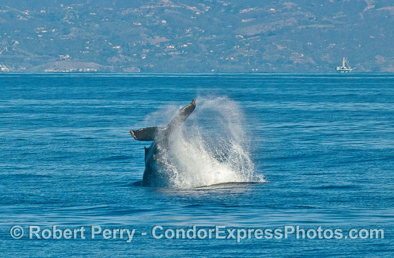 One of two tail throw photographs - a humpback whale shows its power.