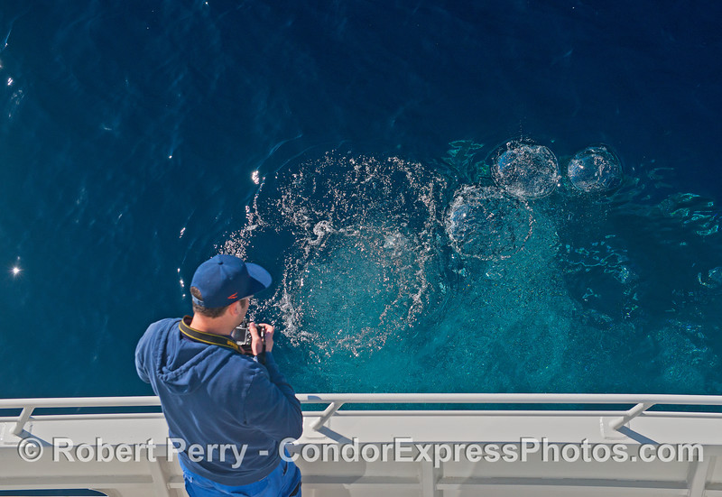 Man photographs humpback whale bubble stream close up.