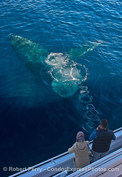 A humpback rises up from beneath the boat and emits a bubble stream.