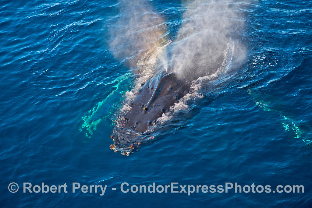 Spouting humpback.