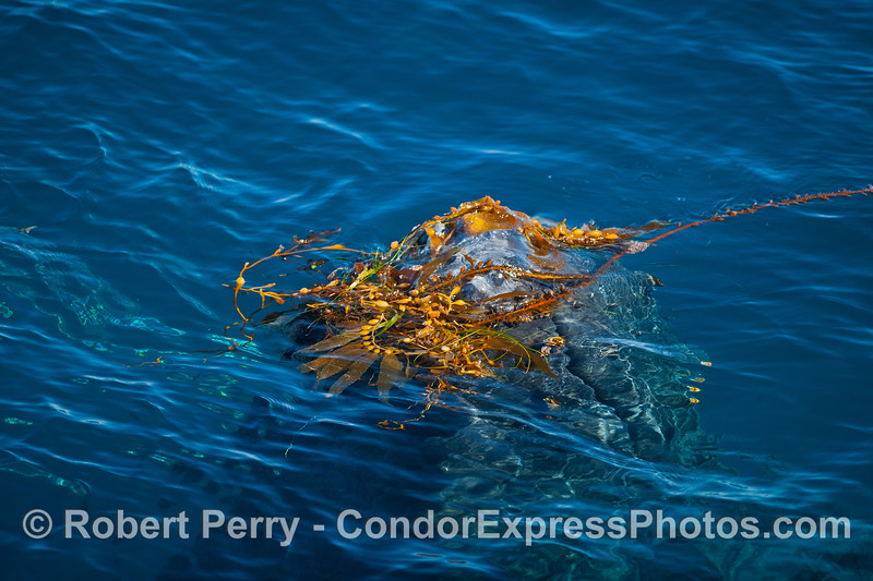 One of seven images in a row showing a humpback whale rising up from the depths to do a bit of kelping.