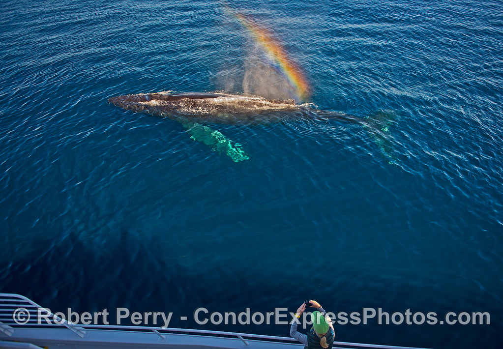 Lone photographer captures humpback whale and its rainbow.