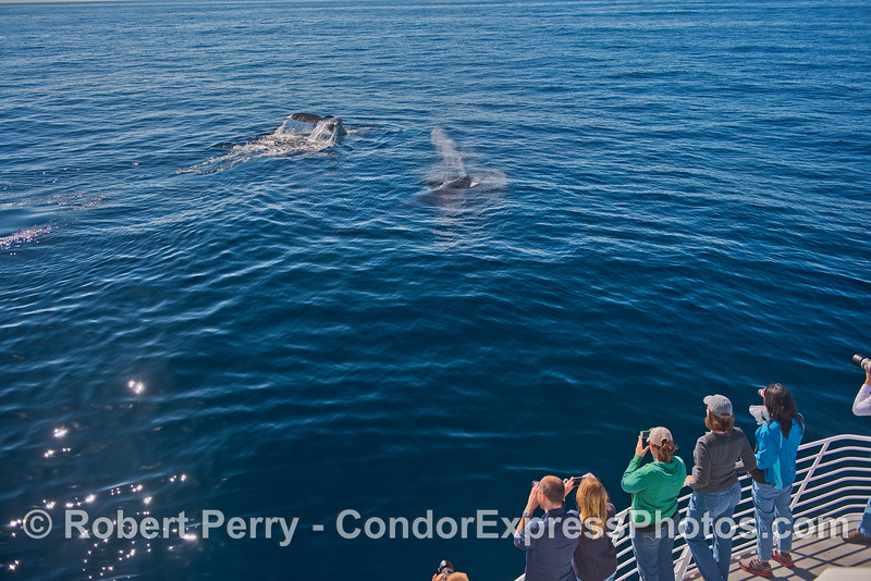 Two humpbacks, one spouting and one fluking-up, made a friendly visit to the boat.