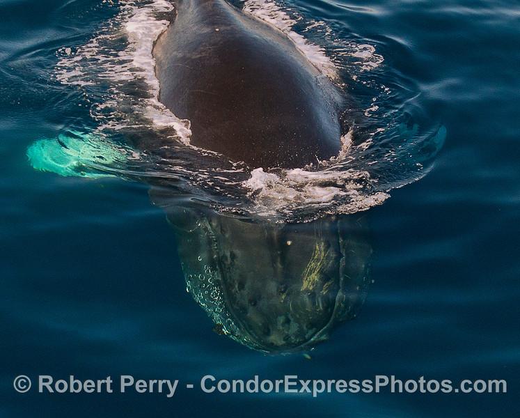 "Humpback whale diving into crystal clear ""Santa Barbara cobalt"" water."