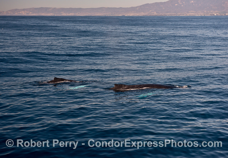 Two humpback whales with white pectoral fins.