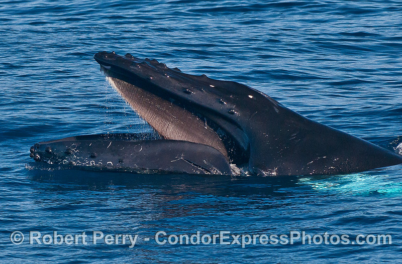 No apparent food in the area, perhaps this humpback whale is showing its baleen as part of a yawn?
