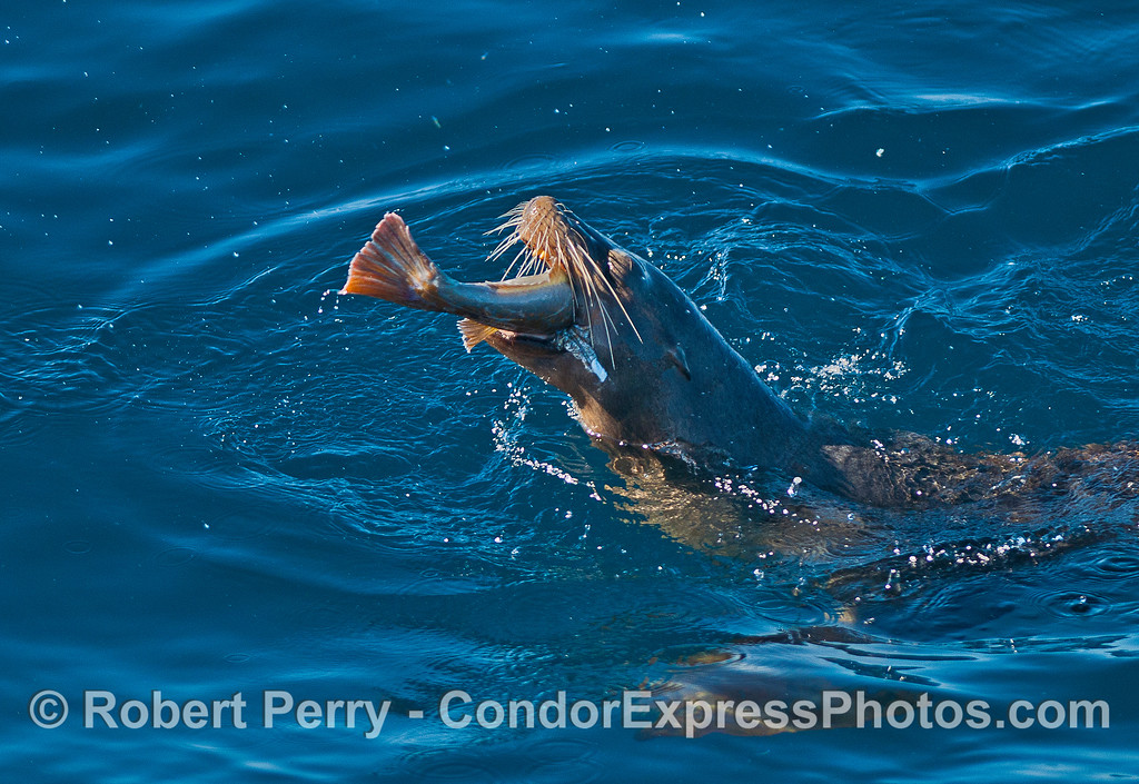 One of five images in a sequencs showing a California sea lion feeding on a rock fish.