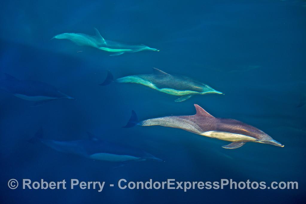 Underwater common dolphins