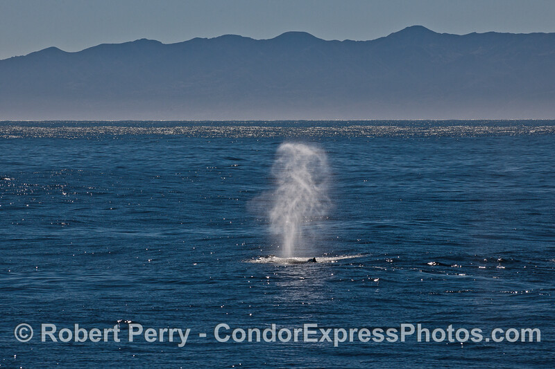 A whispy tall spout of a humpback whale seen in the bright sunlight.
