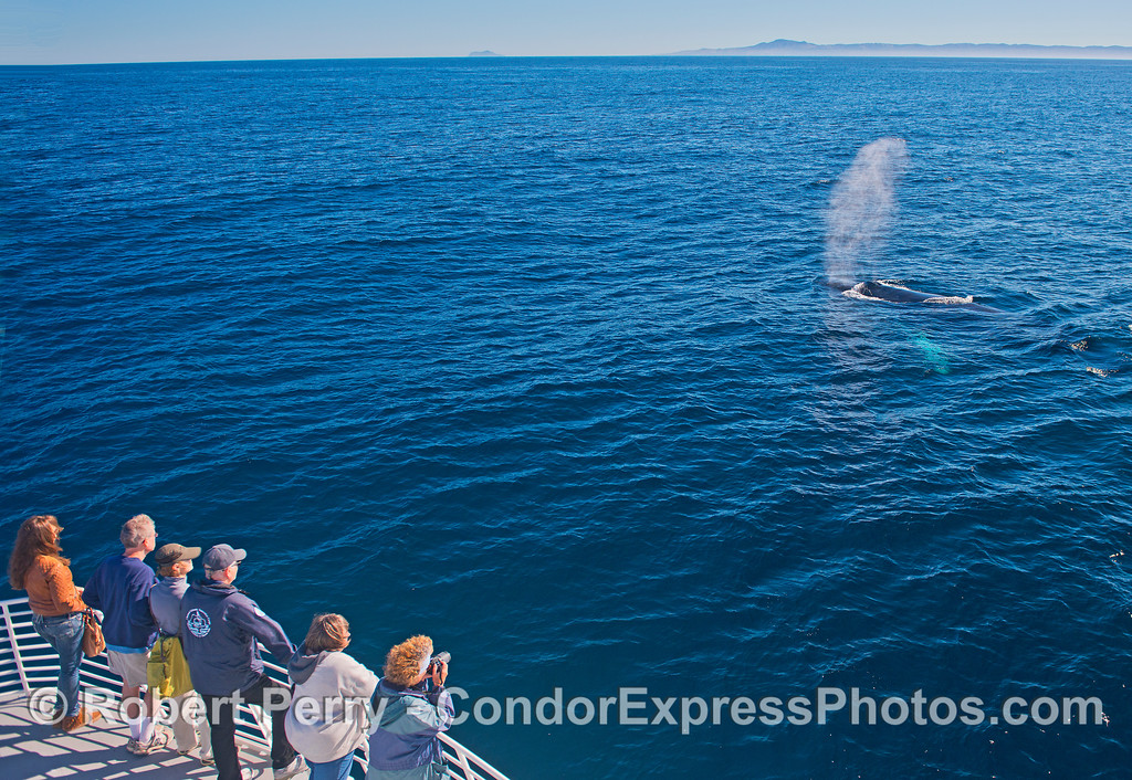 Anacapa Island (left) and Santa Cruz Island (right) form a background to this friendly humpback whale.