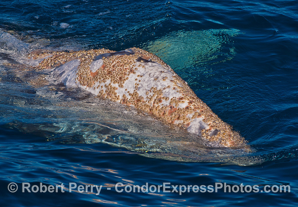 Head and rostrum of an extremely friendly gray whale.