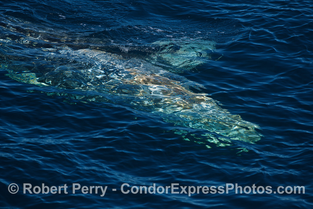 Gray whale swimming just under the surface of the ocean.
