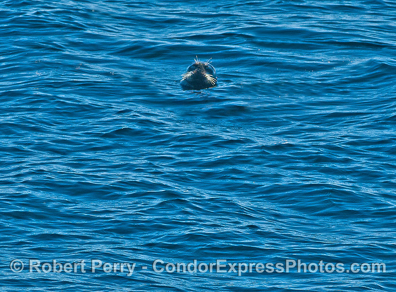 Vibrissae in the sunlight - a lone Pacific harbor seal on the surface in the middle of the Santa Barbara Channel.
