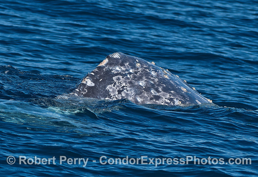 A gray whale arches its back for a deeper dive.  The dorsal hump region shows an unusual scar pattern.  Is this a rake mark from an Orca attack?