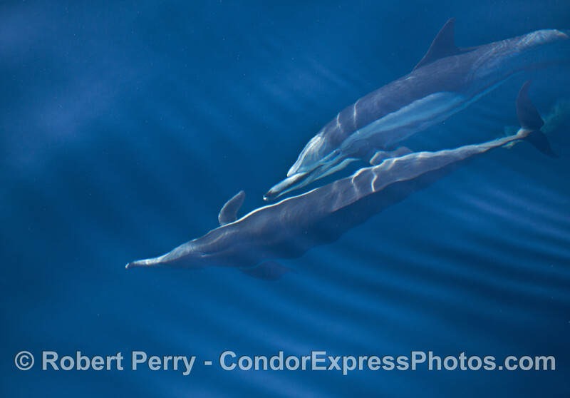 Two long-beaked common dolphins  underwater.