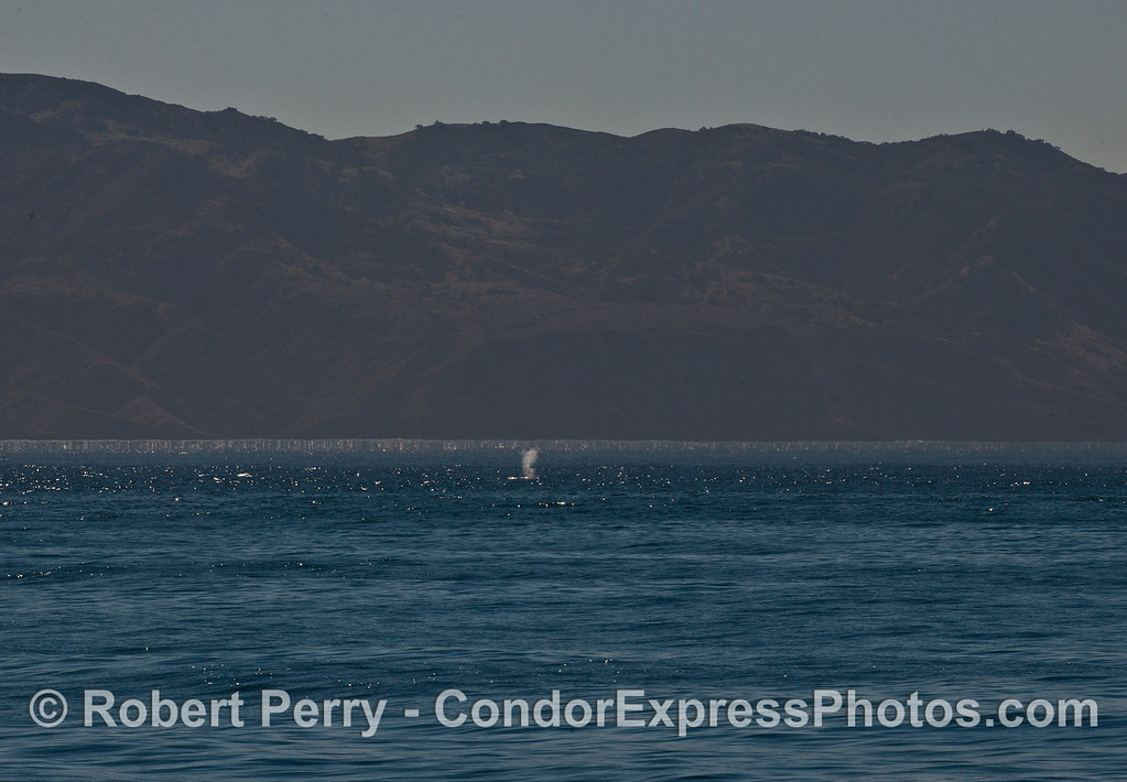Fin whale spout with Santa Cruz Island in the back.