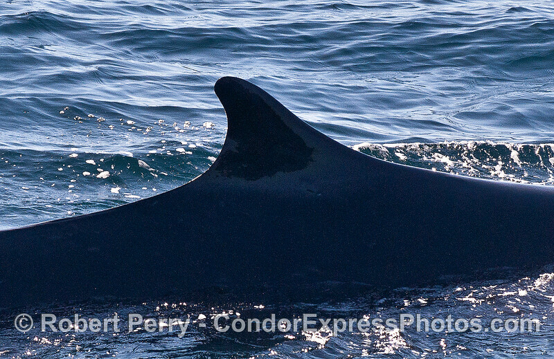 Dorsal fin of a fin whale.