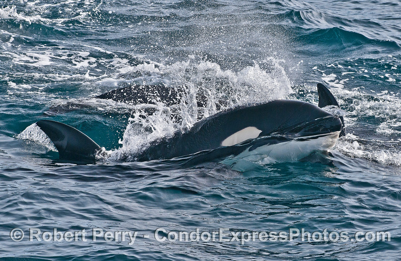 Close look at a Biggs (transient) killer whale.